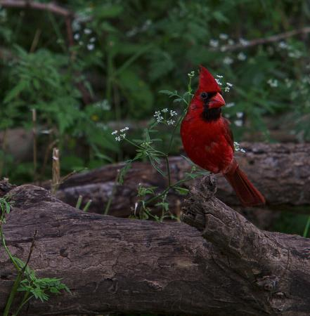 Crescent Bend Nature Park: You never have to wait long for a Cardinal to show up.