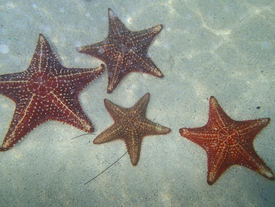 Starfish Beach Picture Of Soto S Cruises George Town