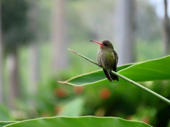 Puerto Valle - Hotel de Esteros: Hummingbird in garden