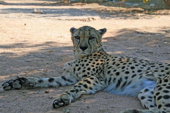 Usakos, Namibia: Kamishi, der zahme Gepard