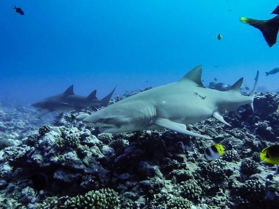 "Moorea, Fransk Polynesia: requins cirtron sur le spot ""eden park"""