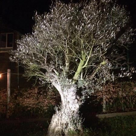 Drogenbos, Belgien: L'olivier du jardin...