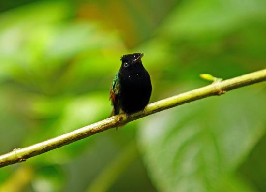 Bajos del Toro, Costa Rica: Hummingbird