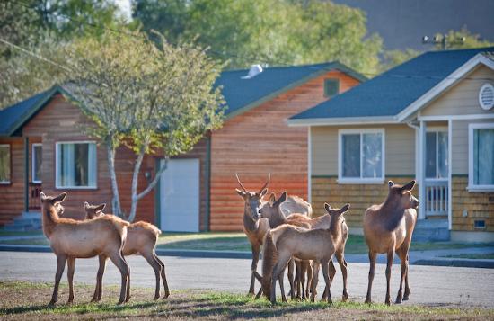 Orick, Kalifornien: Elk Meadow Cabins Elk Family