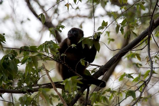 Finca Mystica: One of the Howler Monkeys on the property