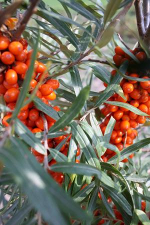 Sea Buckthorn Golden Orchard