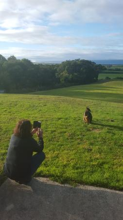 Waratah North, Australia: A guest taking a pic of our regular wallaby