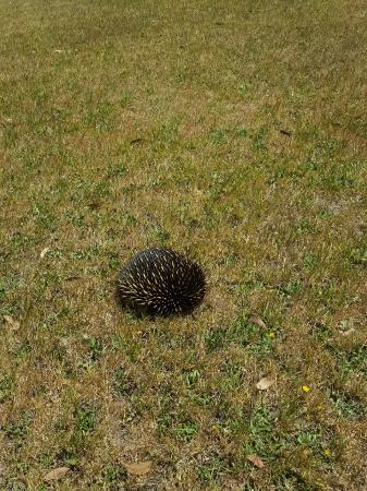 Waratah North, Australia: An echidna going for a stroll at the Lodge