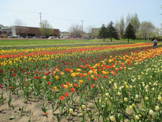Holland, MI: More tulip rows.