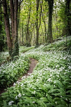 Creative Photography Wales: Wild Garlic, learnt about leading your eye through the picture, like this pathway.