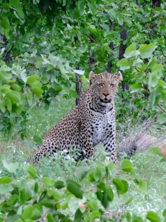Mopani Rest Camp: Leopard by the side of the road