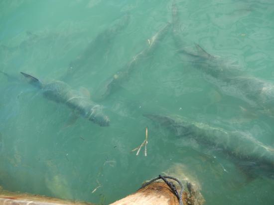 Lake Monroe, FL: Lots of Tarpons