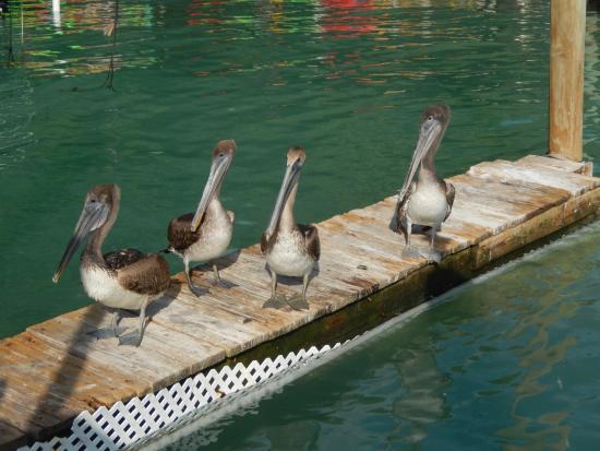 Lake Monroe, FL: Lots of peicans