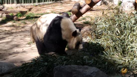 Red Lantern House: One of many Pandas at the Zoo