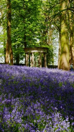 Renishaw, UK: Bluebells