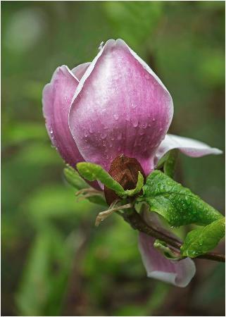 Ramster Gardens: Magnolia in the rain
