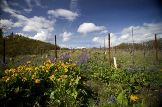 Lyle, WA: Meadowlark Vineyard in the Spring