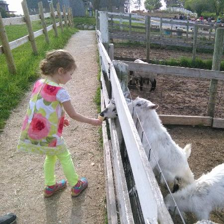 Dan Patch Stables: Feeding the goats
