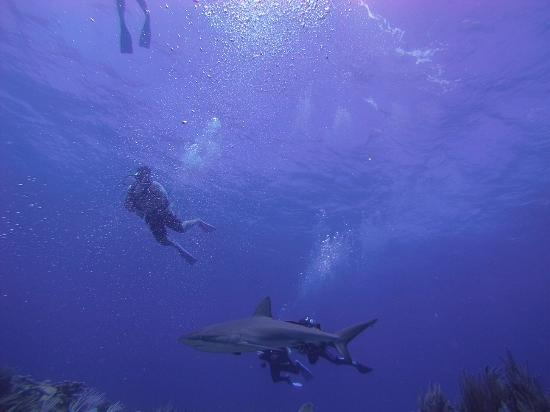 Simpson Bay, St Martin / St Maarten: Reef Shark at The Maze 1
