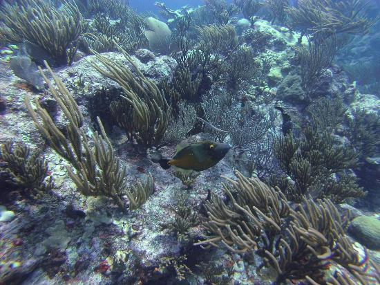 Simpson Bay, St Martin / St Maarten: Trigger Fish at the Maze 1