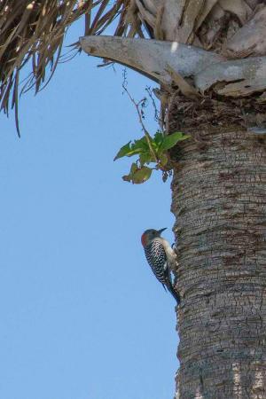 Hobe Sound, Flórida: A cute little woodpecker on the grounds