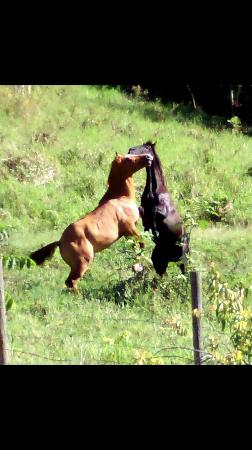 Cowboys Cantina & Outside Grill: Our Horses Playing !!!