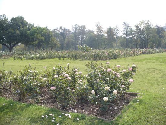 Chandigarh Rose Garden: more rosebushes