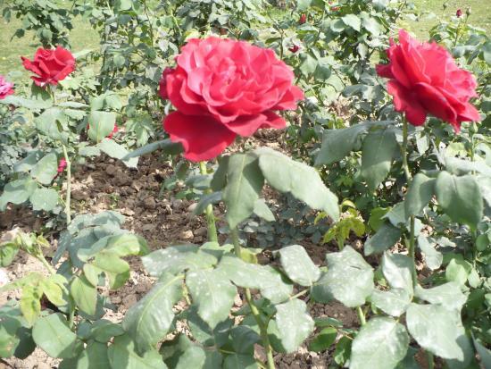 Chandigarh Rose Garden: red roses again