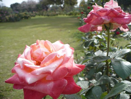 Chandigarh Rose Garden: a beauty