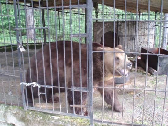 Нардеп Шевченко поїв ведмедя кока-колою і пивом, – зоозахисниця (фото+відео)