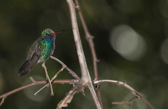 Madera Canyon, AZ: Magnificent hummingbird