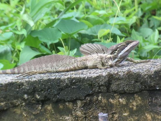 Costa Rica Jade Tours: Jesus Christ Lizard!