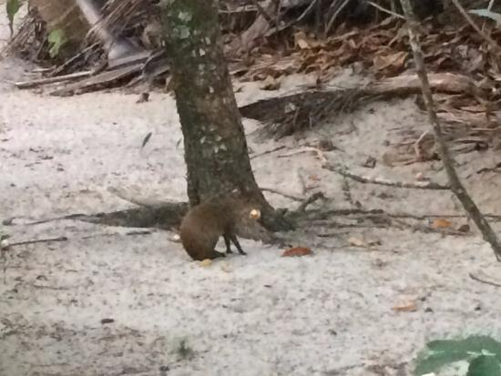 Barnacle Bill's Beach Bungalows: Frequently see wildlife (this is an agouti)