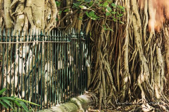 fig tree roots