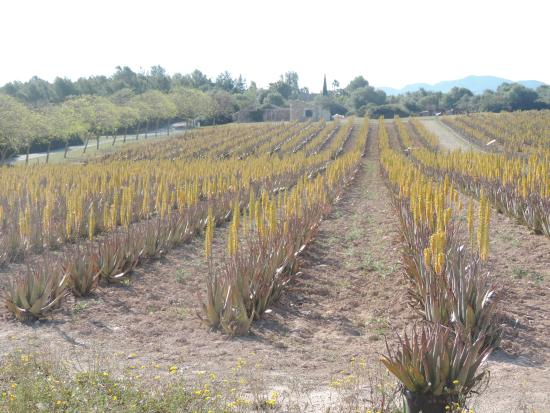 Santa Margalida, Hiszpania: champ d'aloé véra