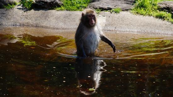 Landskron, Austria: Japan Makaken lieben das baden. vor allem wenn Futter darin schwimmt.