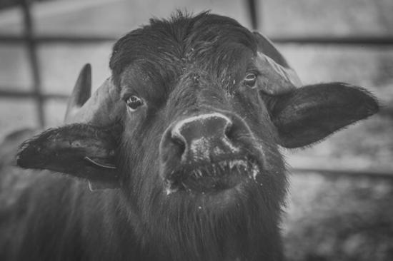 Provincia di Salerno, Italia: La bufala