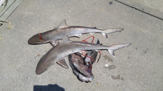 3 black sea bass and 2 sharp nose sharks picture of for Little river fishing fleet