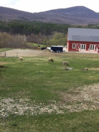 Arlington, VT: sheep grazing