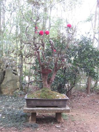 A Camellia Bonsai In Bloom Picture Of Huangguoshu Bonsai Garden Zhenning County Tripadvisor