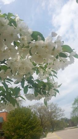 Matthaei Botanical Gardens: Pear flowers