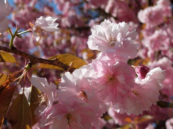 Cerisier Du Japon En Fleur En Mai Picture Of Parc De Sceaux