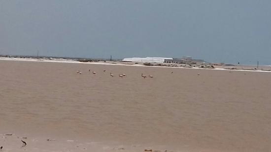 Hotel San Felipe: Flamingos rosas tomando sus alimentos en Las Coloradas