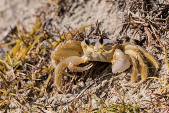 Pecan Tree Inn: sand crab