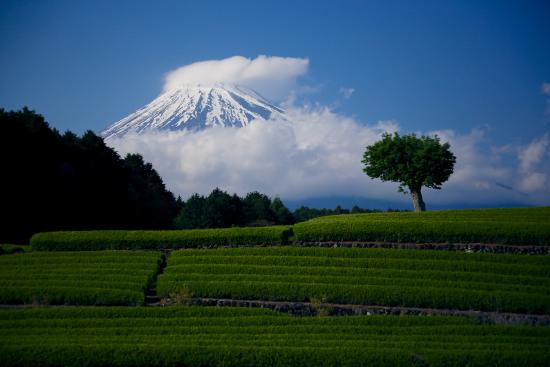 Fuji, Japão: 茶畑と富士山