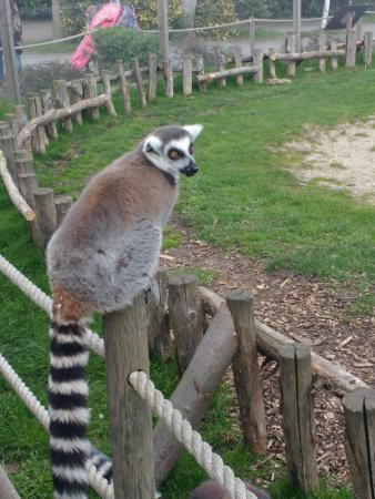 Chelmsford, UK: Lemur waiting to eat