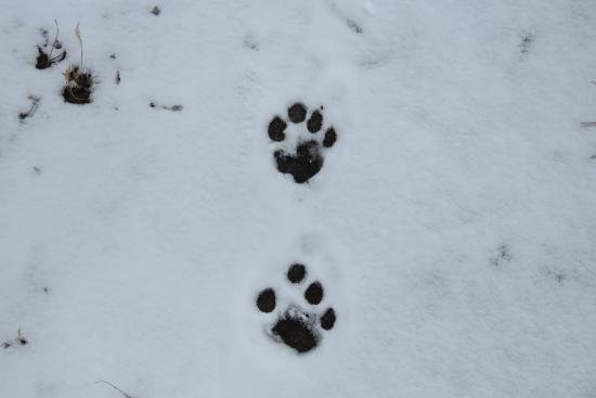 Kangchenjunga Region, Nepal: Footprint of Leopard on the Way Kanchenjunga