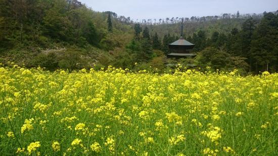 Takahata-machi, اليابان: 三重塔と菜の花