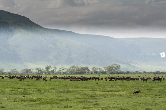 Herde Gnus - Picture of Ngorongoro Crater, Ngorongoro Conservation ...   {Herde 64}