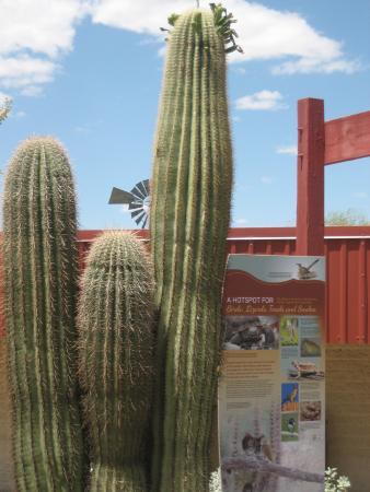 Cabeza Prieta National Wildlife Refuge: Saguaros and Info